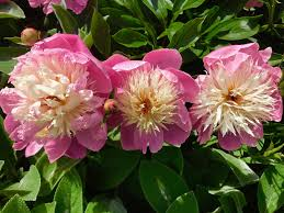 Picture of pink and white peony in full bloom in the garden at springtime.
